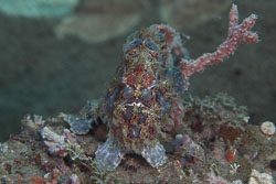 BD-151223-Dauin-9509-Antennarius-pictus-(Shaw.-1794)-[Painted-frogfish].jpg